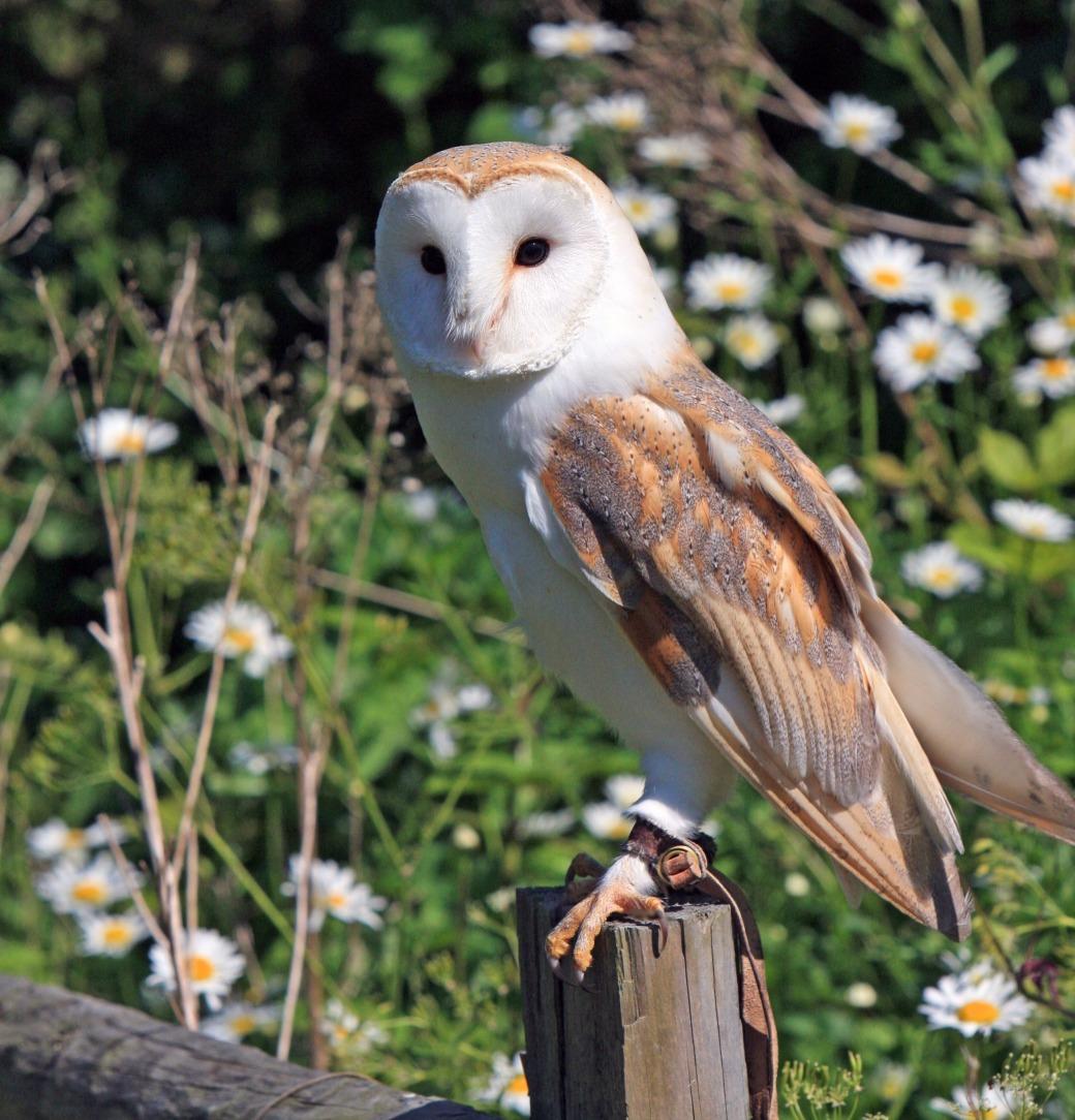 barn-owl-275942